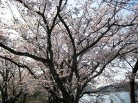 10.4.5 池田池の桜
