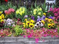 10.4.19 多喜浜のTさんのお宅の花。