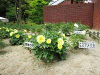 10.5.15 マイントピア芍薬2