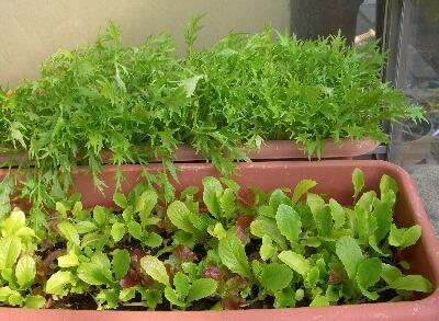 サラダ水菜とリーフレタス1.11