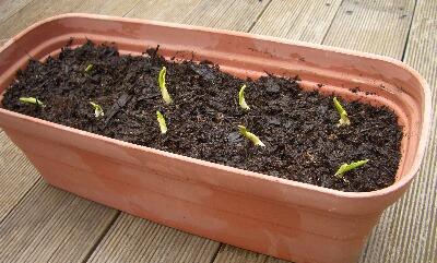 にんにく鉢植え