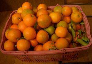 収穫した橙