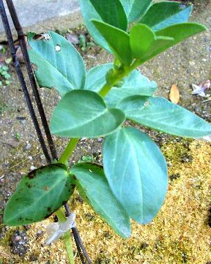 サラダソラマメの葉