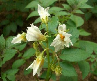 ノーザンルビーの花1