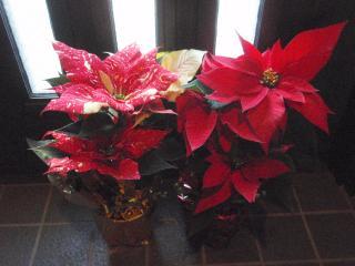 【ポインセチアの鉢植え2種類】