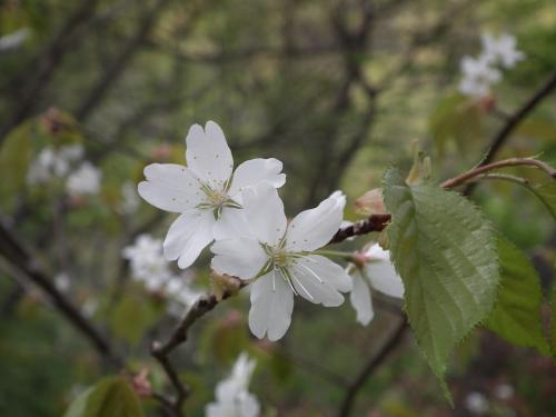 大島桜 きれい!