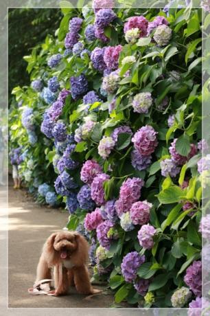 紫陽花の壁