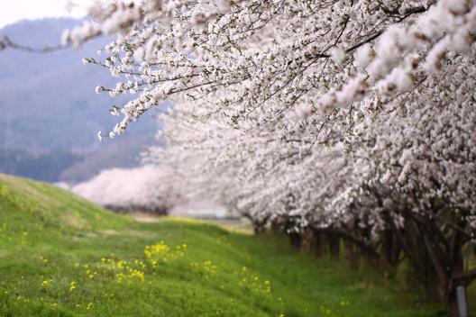 荒川河川敷 桜