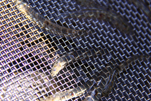 新潟 荒川 白魚漁