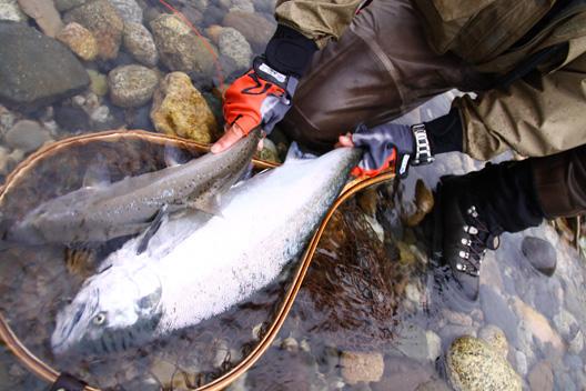 2011荒川サクラマス釣り 珍しい 雄