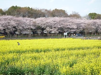 0403菜の花畑
