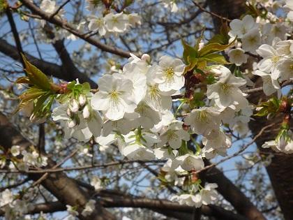 0403白い桜