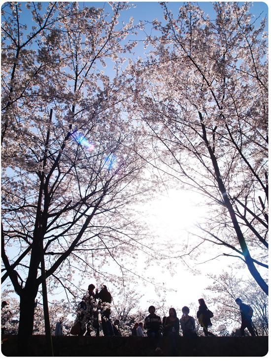 P40428532010sakura.jpg