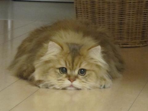 20110116001ふせるネコ