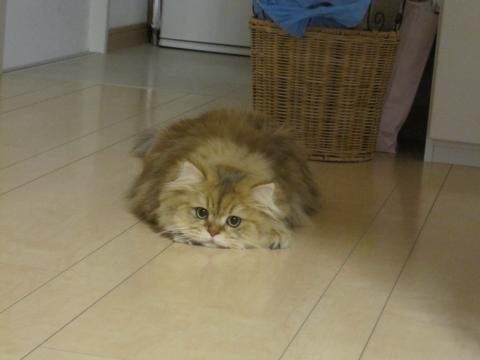 20110116003ふせるネコ