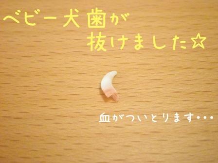 ベビー犬歯
