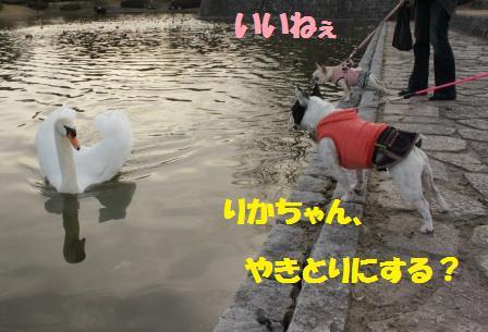 IMG_3616  白鳥