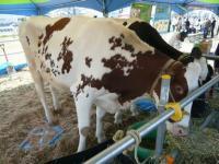 ミルク&ナチュラルチーズフェア 牛