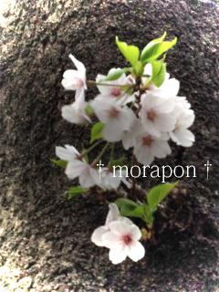 120411桜と椿-1