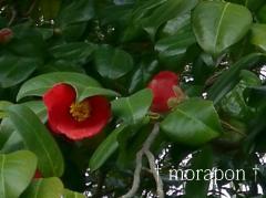 120411桜と椿-2
