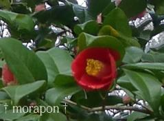 120411桜と椿-3