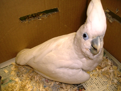 20080416_ducorpscockatoo.jpg