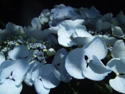 2010_0513紫陽花