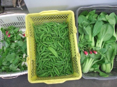 2010_0521朝採り自家菜園野菜