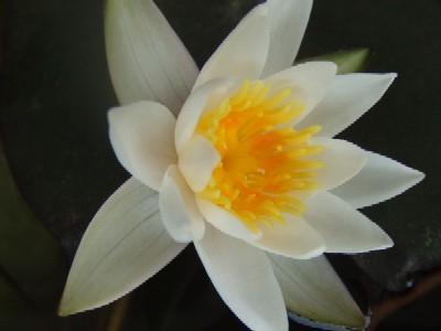 2010_0522蓮の花1