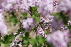 ヒメライラックの花と蝶1