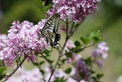 ヒメライラックの花と蝶2