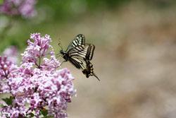 ヒメライラックの花と蝶3
