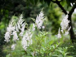 庭の花アスチルベ白2