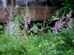 庭の花アスチルベピンク1