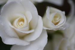庭の花アイスバーグ3