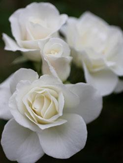 庭の花アイスバーグ1
