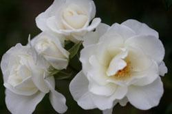 庭の花アイスバーグ2