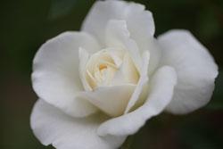庭の花アイスバーグ4