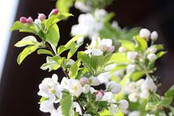姫リンゴの花1