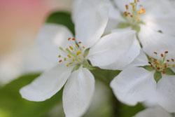姫リンゴの花2