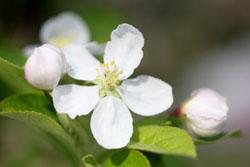 姫リンゴの花3