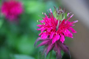 庭の花ベルガモット3