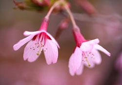 庭の花おかめ桜1s