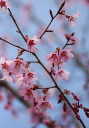庭の花おかめ桜3s