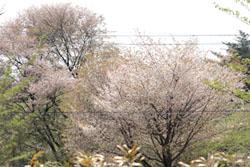 庭から見た桜1