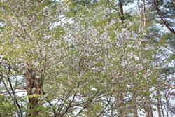 庭から見た桜2