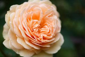 庭の花クラウンプリンセスマルガリータ1 s