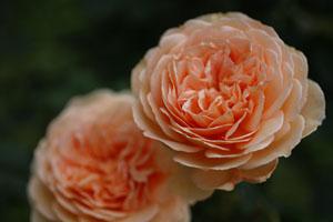 庭の花クラウンプリンセスマルガリータ2s