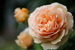 庭の花クラウンプリンセスマルガリータ3s