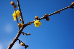ロウバイの花1